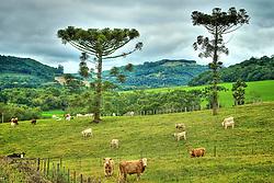 Rebanho de gado bovino nos campos de Passo Fundo. FOTO: Jefferson Bernardes/Preview.com