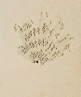 Sand crab creating patterns near it's hole on a beach by rolling hundreds of tiny balls of sand&#xA;<br />