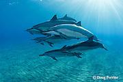 pod of Hawaiian spinner dolphins or long-snouted spinner dolphins, or Gray's spinner dolphins, Stenella longirostris longirostris, resting and socializing, Hookena, Kona, Hawaii ( the Big Island ) Central Pacific Ocean MR 410