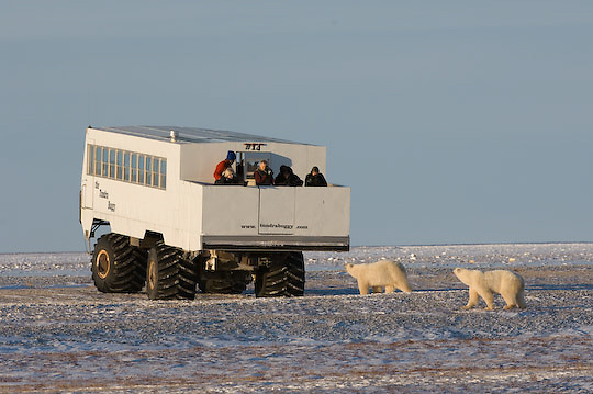 Polar Bear (Ursus maritimus) a mother and her cubs investigate tourists on a Tundra Buggy. Cape Churchill, Manitoba