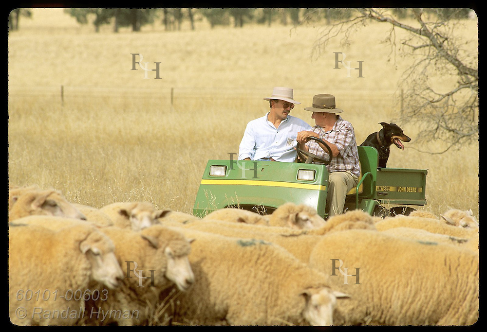 Jack Veitch herds sheep in his all-terrain vehicle while talking to Zel Bodulovic; Coolamon, NSW. Australia