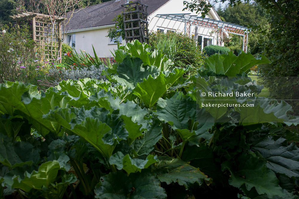 Rhubarb growing in home-grown vegetable plot in a Somerset back garden.