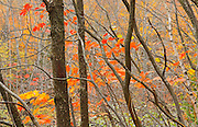 HArdwood trees in autumn colors<br /> Dorset<br /> Ontario<br /> Canada
