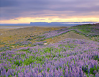 Fields of lupines growing on glacial moraines, Skaftafell National Park Iceland, Europe