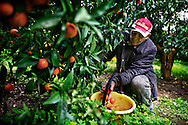 Rosarno, Italia - 19 dicembre 2010. Un immigrato bulgaro mentre raccoglie mandarini in un campo a rosarno. Dopo le violenze scoppiate lo scorso anno tra gli abitanti di Rosarno e gli immigrati africani, la forza lavoro nei campi è stata sostituita da immigrati dell'est Europa, soprattutto bulgari e romeni..Ph. Roberto Salomone Ag. Controluce.ITALY - An immigrant collects tangerines from a tangerine field in Rosarno on December 19, 2010.