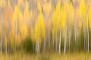 Creative blur of aspen and spruce trees gives an impressionistic, painterly feel to the remaining fall foliage in Eagle River Valley in Southcentral Alaska in late autumn. Afternoon.