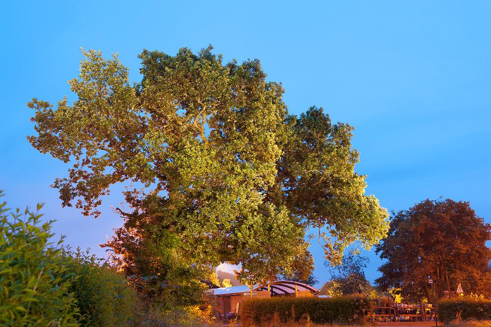 The Poker Tree, Aberfoyle, Scottish Tree of the Year 2015 candidate