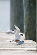 These least terns were all hanging out on the dock at Eastern Neck NWF. Several seemed to be attempting to mate.