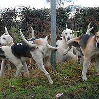 The Cheshire Forest Hunt meet for there traditional Boxing Day meet starting out from the Duke of Portland pub, at Lach Denis, near Northwich Cheshire. For the first time in recent years no anti-hunt protesters or Police were present. The Cheshire Forest Hunt is one of those who use a falcon to side step the Hunting with Hounds ban but today the falcon was not present and the Hunt stated that they were purely following a trail and not actively hunting..© Terry Kane. Copyright..All Rights Reserved..Syndication by Barcroft Media....m: +44 (0)7974 921 220.e: kane@eyewitnessimages.co.uk.w: http://www.eyewitnessimages.co.uk.Member of the National Union of Journalists &.the British Press Photographer's Association..