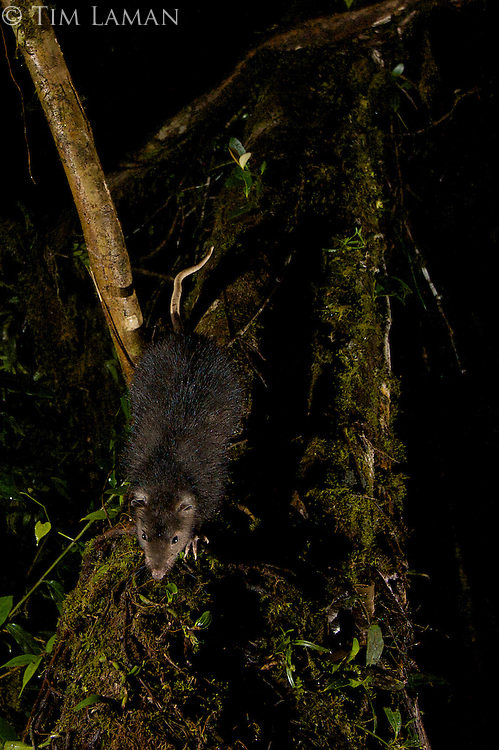 Woolly Giant Rat (Mallomys sp. nov.)<br />