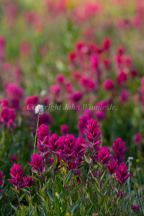 Indian paintbrush, Bearetooth Plateau, Albino Lake, Montana