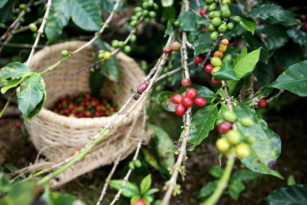 food, coffee, farm, bananas, agriculture, nature, healthy, guineos, cafe, finca, puerto rico, frutas, fruits, comida, nature, naturaleza, finca, farm, campo, natural, organic, organico,