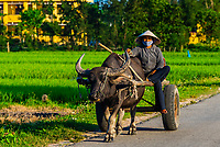 A farmer drives a bullock cart behind a water buffalo down a rural road outside Hue, Central Vietnam.