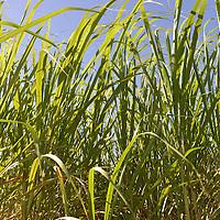 Sugar Cane Farming in Louisiana, USA
