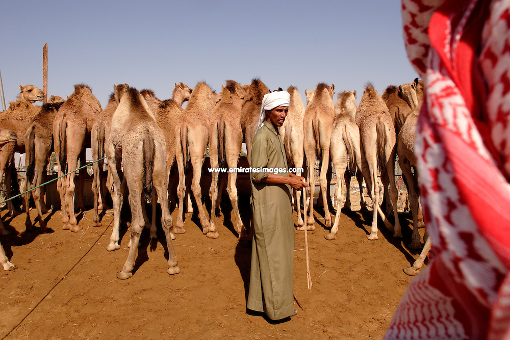 Traditional camel market in Al Ain, the emirate of Abu Dhabi, United Arab Emirates