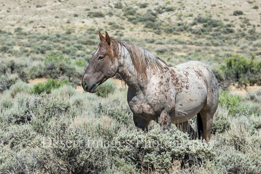 Wild Horses<br /> Sandwash Basin HMA, Colorado