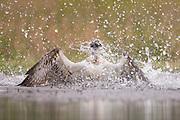 Osprey (Pandion haliaetus) diving for fish, Cairngorms NationalPark, Scotland.