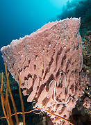 A pink Giant barrel sponge with a white sea cucumber in it, grows along a wall of coral in Raja Ampat, Indonesia.