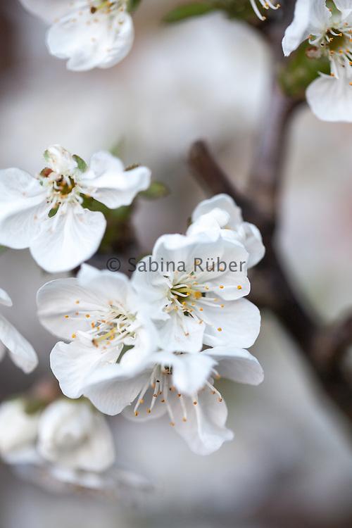 Prunus cerasus austera - Morello Cherry c.1542
