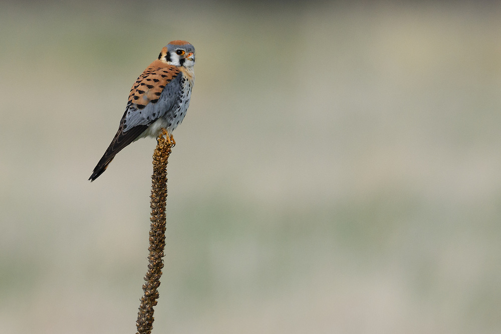 American Kestrel on mullein, Boulder, Colorado