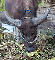 Young Domestic Water Buffalo, Bubalus bubalis, Baucau, East Timor