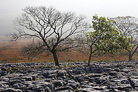 Ingleborough, Yorkshire limestone pavement in early autumn with old trees