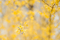 Spring forsythia New Hampshire.  ©2016 Karen Bobotas Photographer