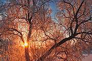 Horafrost on Manitoba maple tree at sunrise with hoarfrost, Winnipeg, Manitoba, Canada