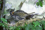 Cuckoo Cuculus canorus - Young being fed by Dunnock. L 33-35cm. Secretive summer visitor with intriguing lifestyle. Heard more than seen. Recalls a Sparrowhawk in flight. Feeds mainly on hairy caterpillars. Sexes sometimes separable. Adult male, and most females have blue-grey head, neck and upperparts; underparts are white and barred. Some adult females are brown and barred on head, neck and upperparts; underparts are white with dark bars. Juvenile is similar to brown adult female but with white nape. Voice Male utters distinctive cuck-oo song; female has bubbling call. Status Local summer visitor. Range dictated by occurrence of songbirds used for nest parasitism; host species include Meadow Pipit, Dunnock and Reed Warbler.