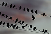 A flock of European starlings (Sturnus vulgaris) roost on overhead wires in Snohomish County, Washington.