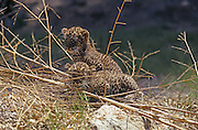 Arabian leopard (Panthera pardus) cubs, photographed in the wild in the Judaean Desert, Isreal. One of the few remaining specimen