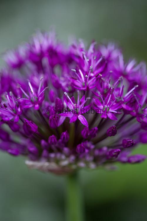 Allium hollandicum 'Purple Sensation' - Dutch garlic