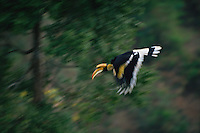 Great Hornbill (Buceros bicornis) in flight..Khao Yai National Park, Thailand