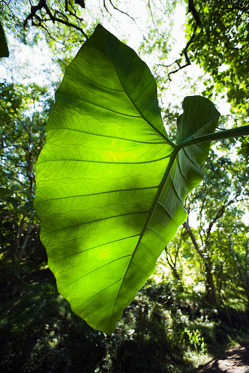 A backlit Taro plant in the forest in Hawaii's Waipi'o Valley