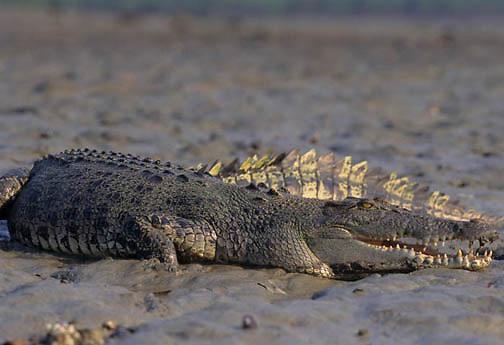 Saltwater Crocodile, (Crocodylus porosus) Australia.