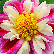 """""""The Beauty Within""""<br /> <br /> Wonderful multicolored Dahlia!! Pinks and white with a bright yellow center!!<br /> <br /> Flowers by Rachel Cohen"""