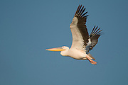Israel, Maagan Michael Fish ponds, White Pelican, Pelecanus onocrotalus in flight