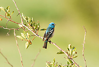 A male Lazuli Bunting perched on a thorn bush alongside a small creek in northern Utah.