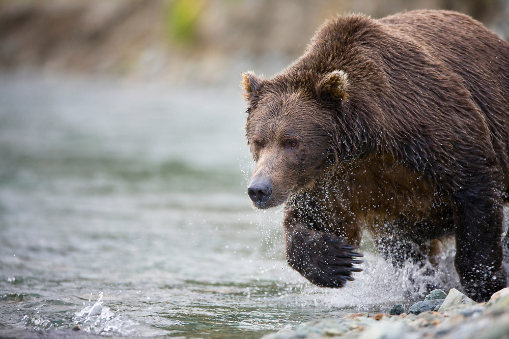 USA, Alaska, Katmai National Park, Kinak Bay, Brown Bear (Ursus arctos) running while hunting for spawning in stream on autumn afternoon