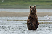 A brown bear sub-adult stands up for a better view during the search for salmon in the lower lagoon at the McNeil River State Game Sanctuary on the Kenai Peninsula, Alaska. The remote site is accessed only with a special permit and is the world's largest seasonal population of brown bears in their natural environment.