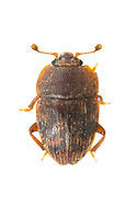 Sap  Beetle (Stelidota octomaculata)<br /> United States: Alabama: Tuscaloosa Co.<br /> Tulip Tree Springs off Echola Rd.; Elrod<br /> 11-Jan-2018<br /> J.C. Abbott #3017
