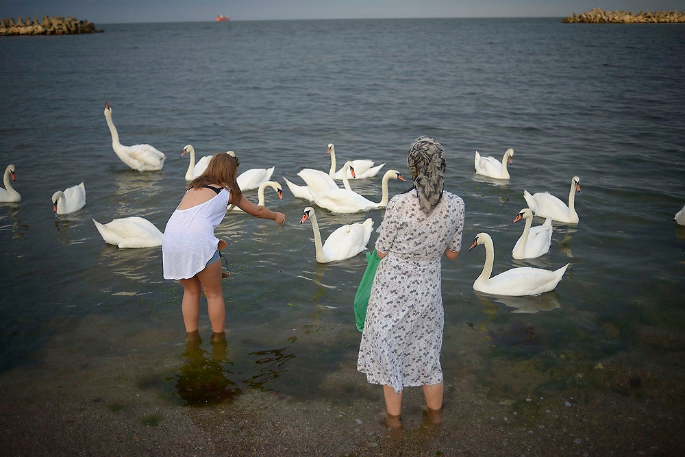 Tourists are feeding the swans, which sometimes are coming to the shore. Eforie, Romania
