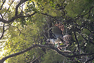 A Harpy Eagle readjusts its position on a branch while maintaining the grasp on its sloth prey.