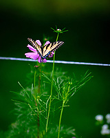 Tiger Swallowtail feeding on a Cosmos Flowerl. Image taken with a Fuji X-T3 camera and 100-400 mm OIS lens