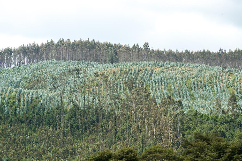 Hillside orchard of eucalyptus trees, Chile