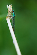 Female blue tailed damselfly resting ready for the night.