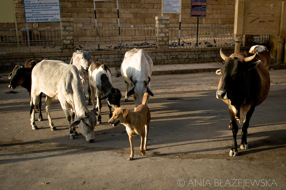 India, Rajasthan. Cows and a dog waiting for food on the street of Jaisalmer.