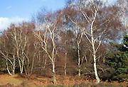 Silver birch trees on heathland Suffolk Sandlings England