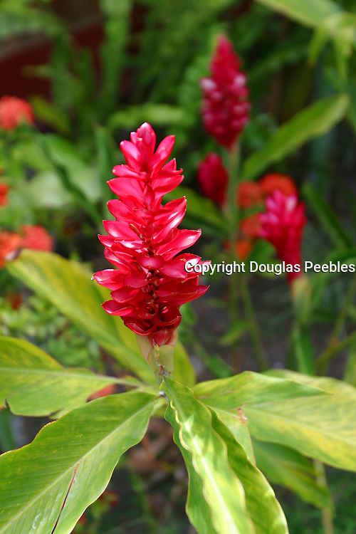 Red ginger, Gauguin Museum and Gardens, Island of Tahiti, French Polynesia<br />