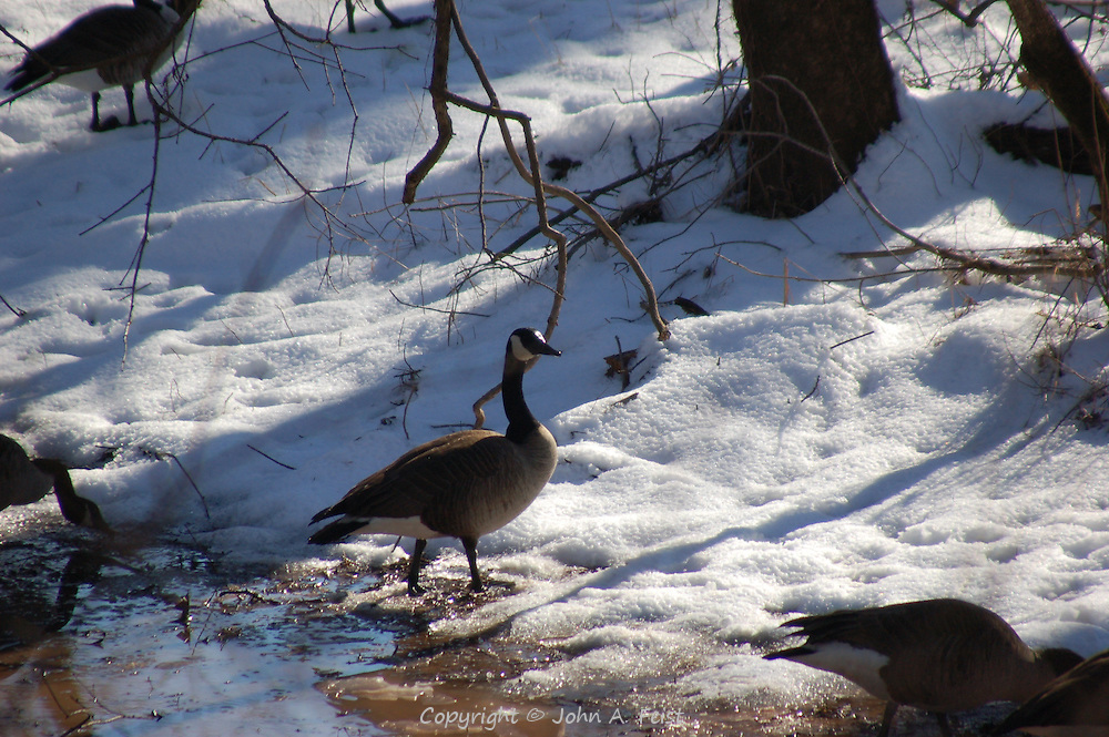A pair of geese at the edge of a small melt along the D and R Canal in Hillsborough, NJ.
